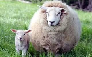 Как называется шерсть снятая с овец