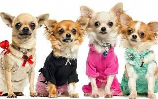 Вязаная одежда для собак своими руками: выкройки для таксы, той терьера и для чихуахуа