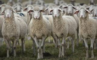 Мутон — это мех кого, из какого животного делают, особенности производства